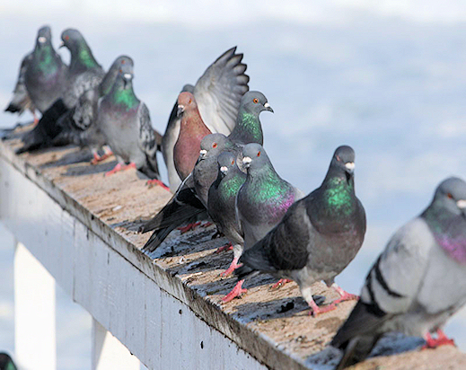 Pigeon Removal Glenrothes