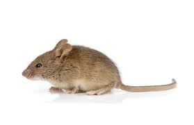 Mice Control Dunfermline